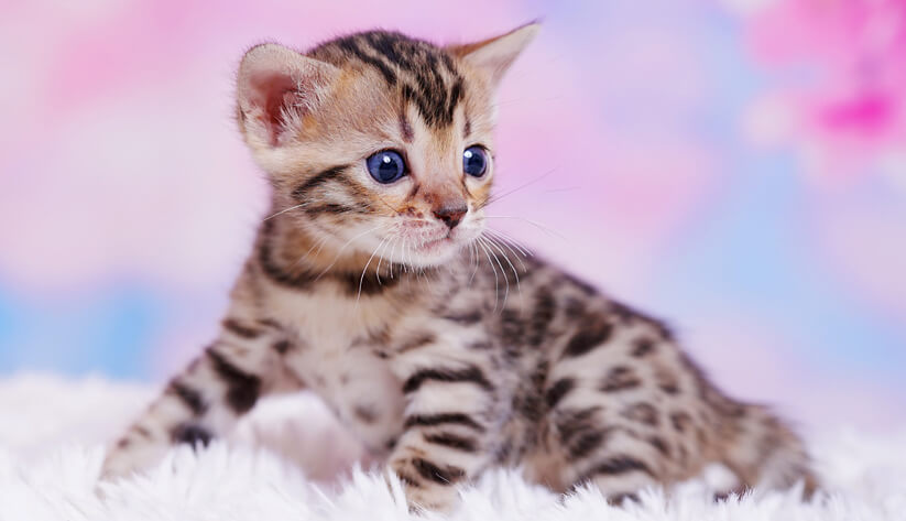 contact us to secure your Bengal kitten
