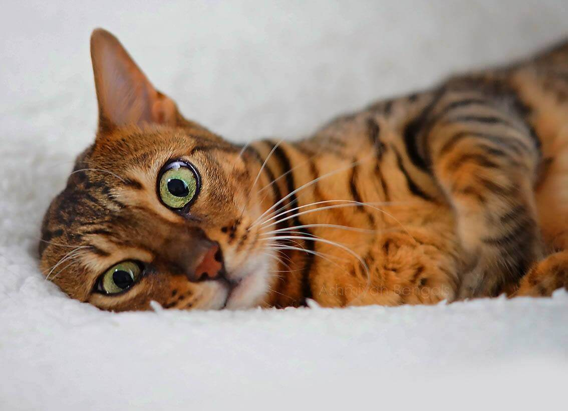 Bengal cat relaxed from catnip