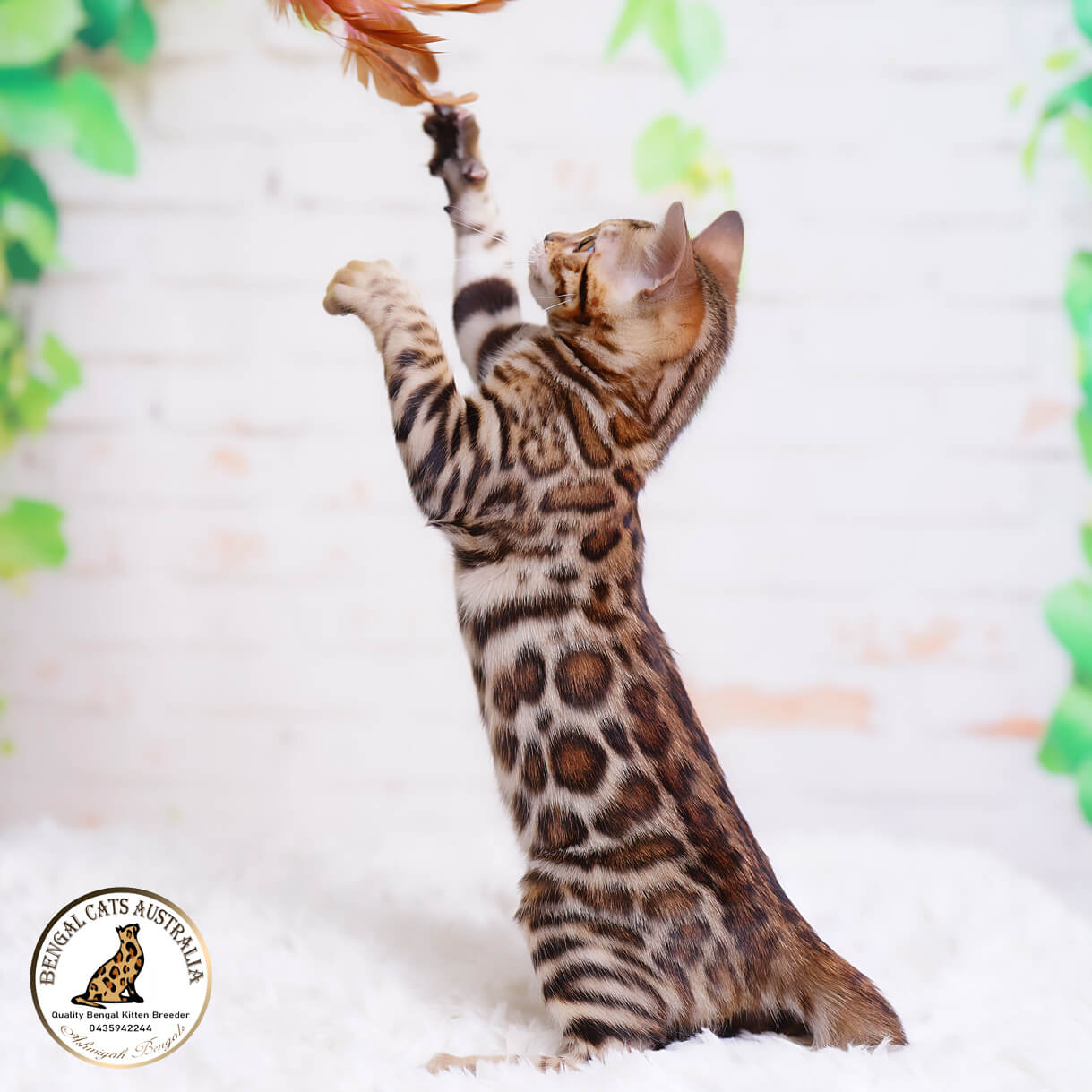 Bengal kitten with chain rosetted pattern