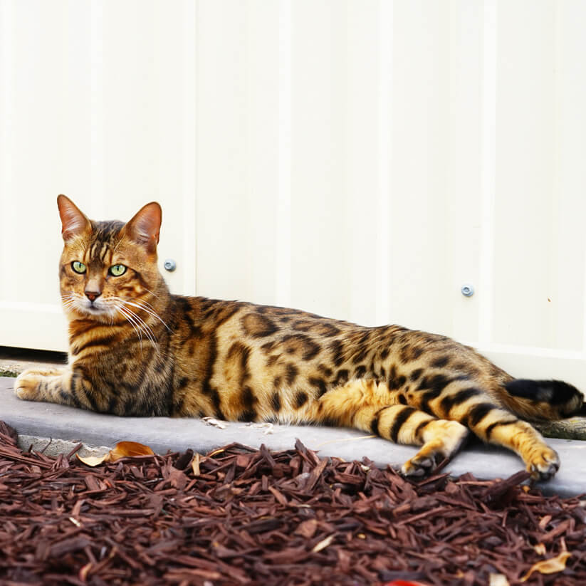 Bengal cat-Golden undercoat