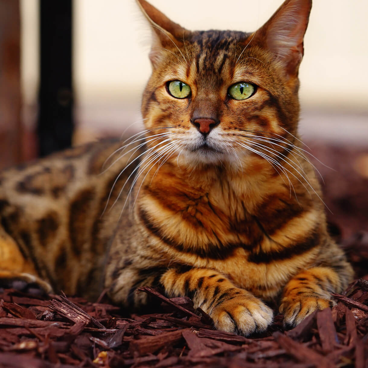 Bengal cat nose-whiskers