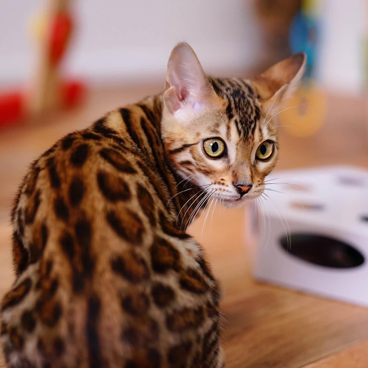 Bengal kitten-large nocturnal eyes