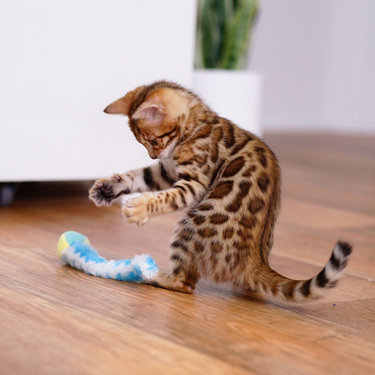 Bengal kittens For Sale-BRF-3