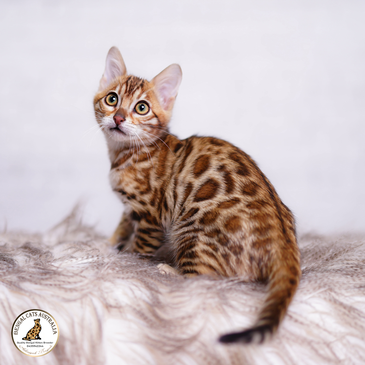 Bengal kittens For Sale-BRF-2