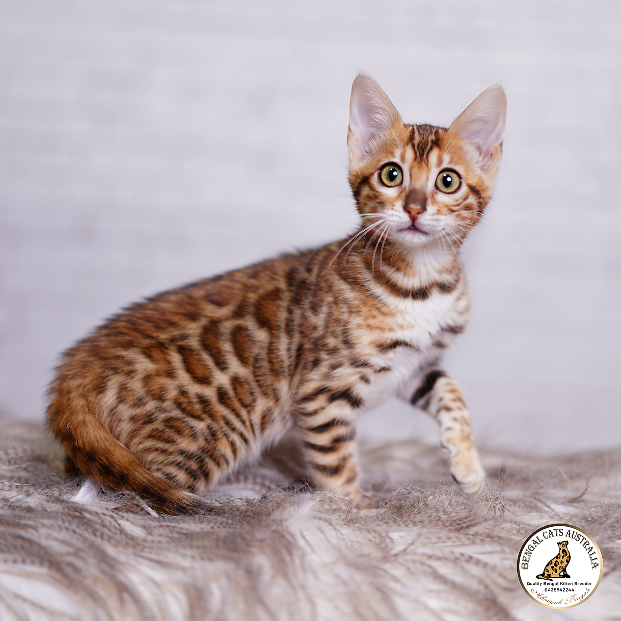 Bengal kittens-Available For Sale-BRF-1