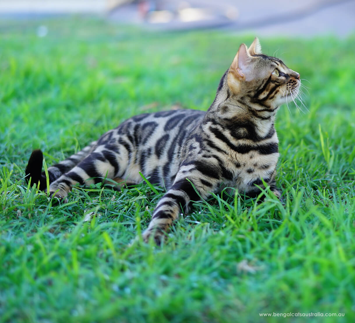 Bengal cat rolling on grass