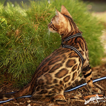 Bengal cat two toned rosettes