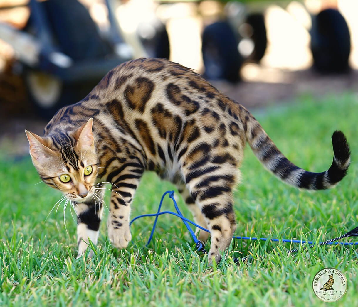 Bengal kitten-brown rosetted pattern-clear coat