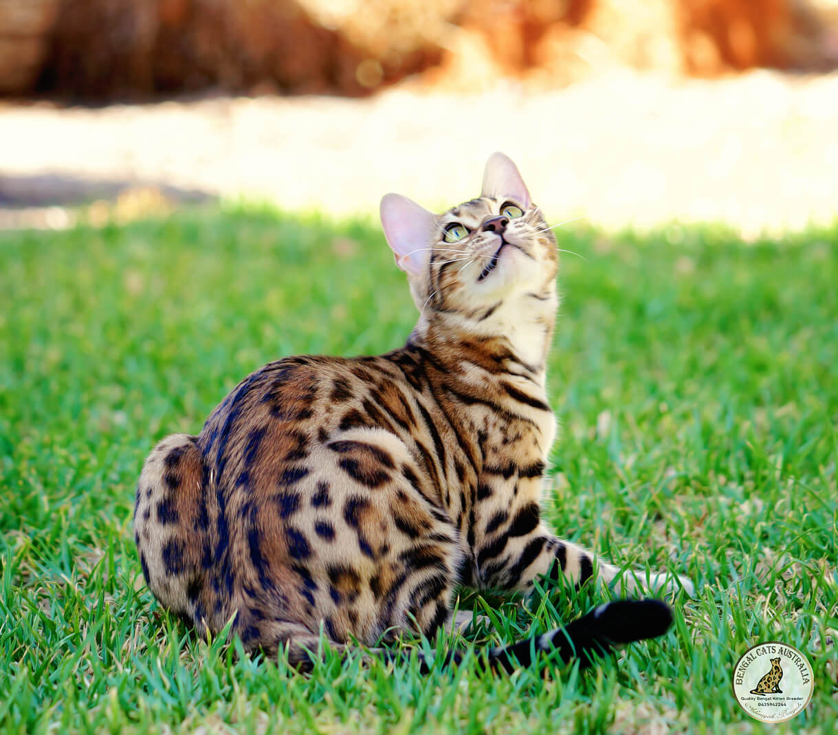 Bengal cat gold glitter