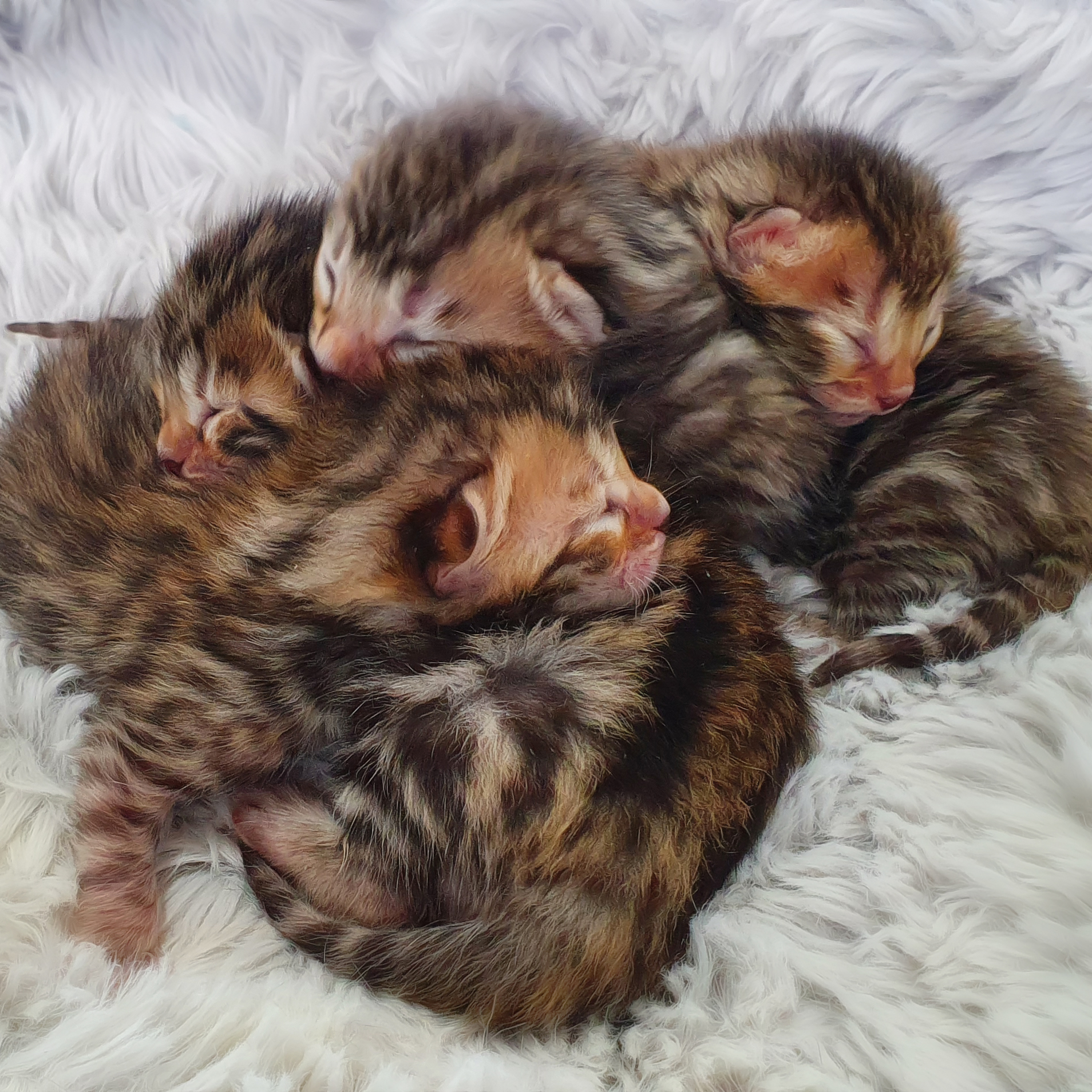 Brown Spotted Bengal Kittens for sale 2020