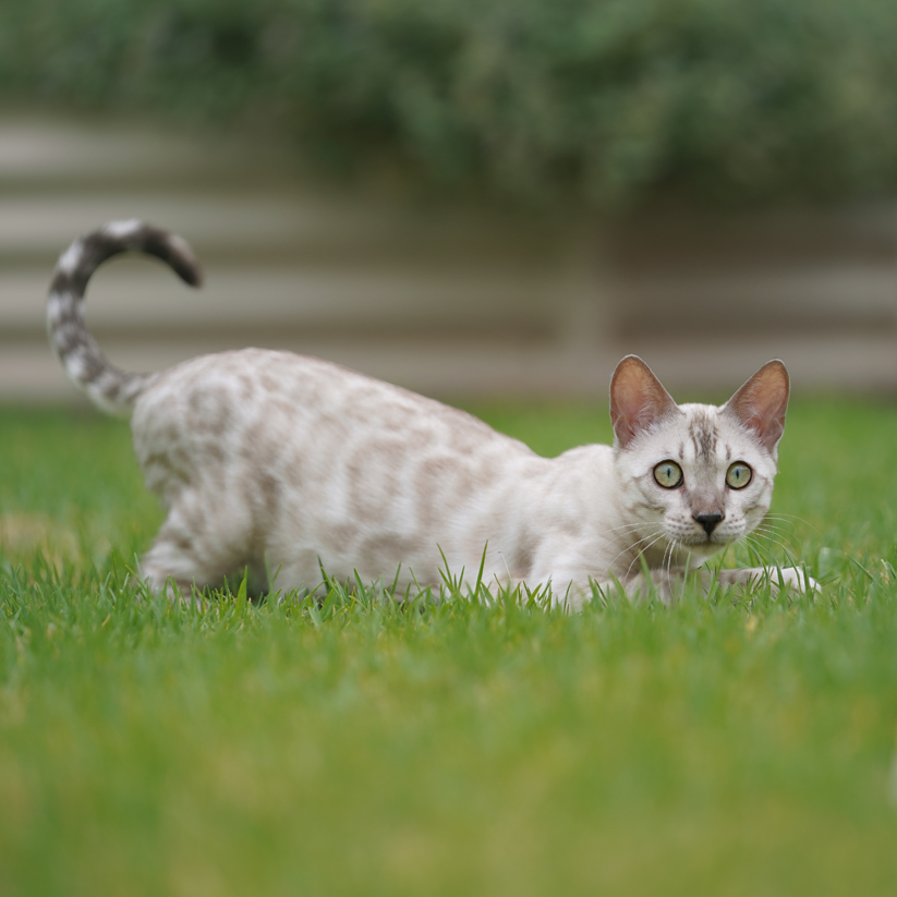 Snow Bengal kitten