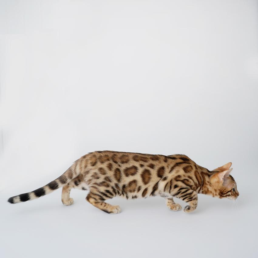 Bengal Cat stalking pose
