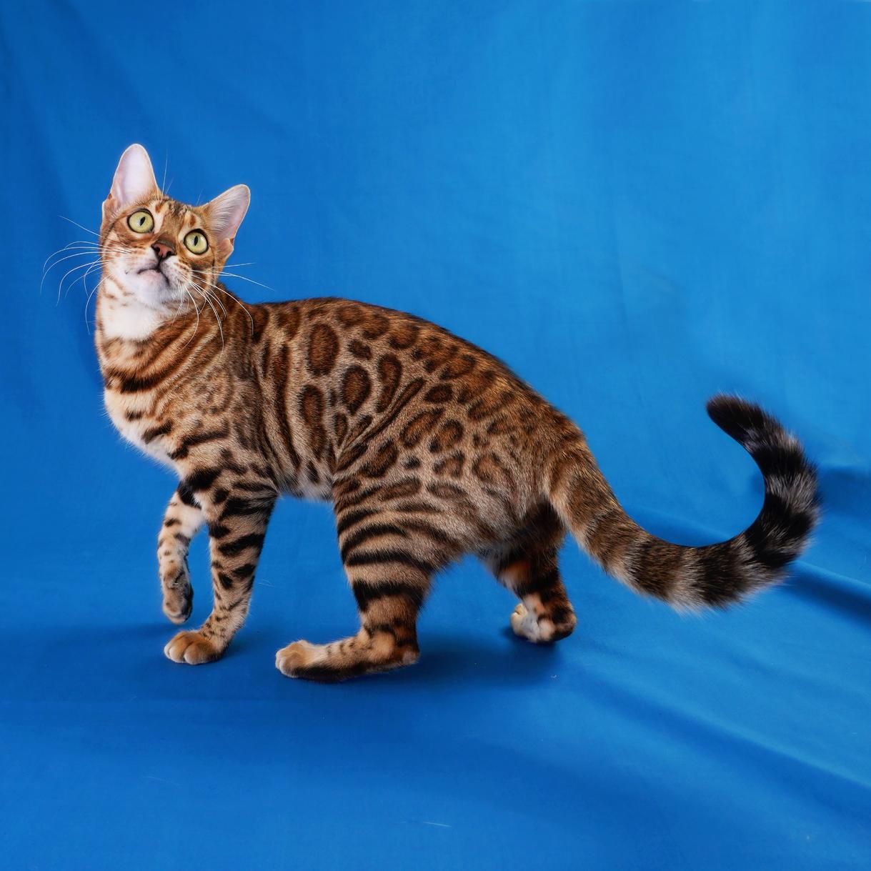 Bengal Cat Breeding Queen