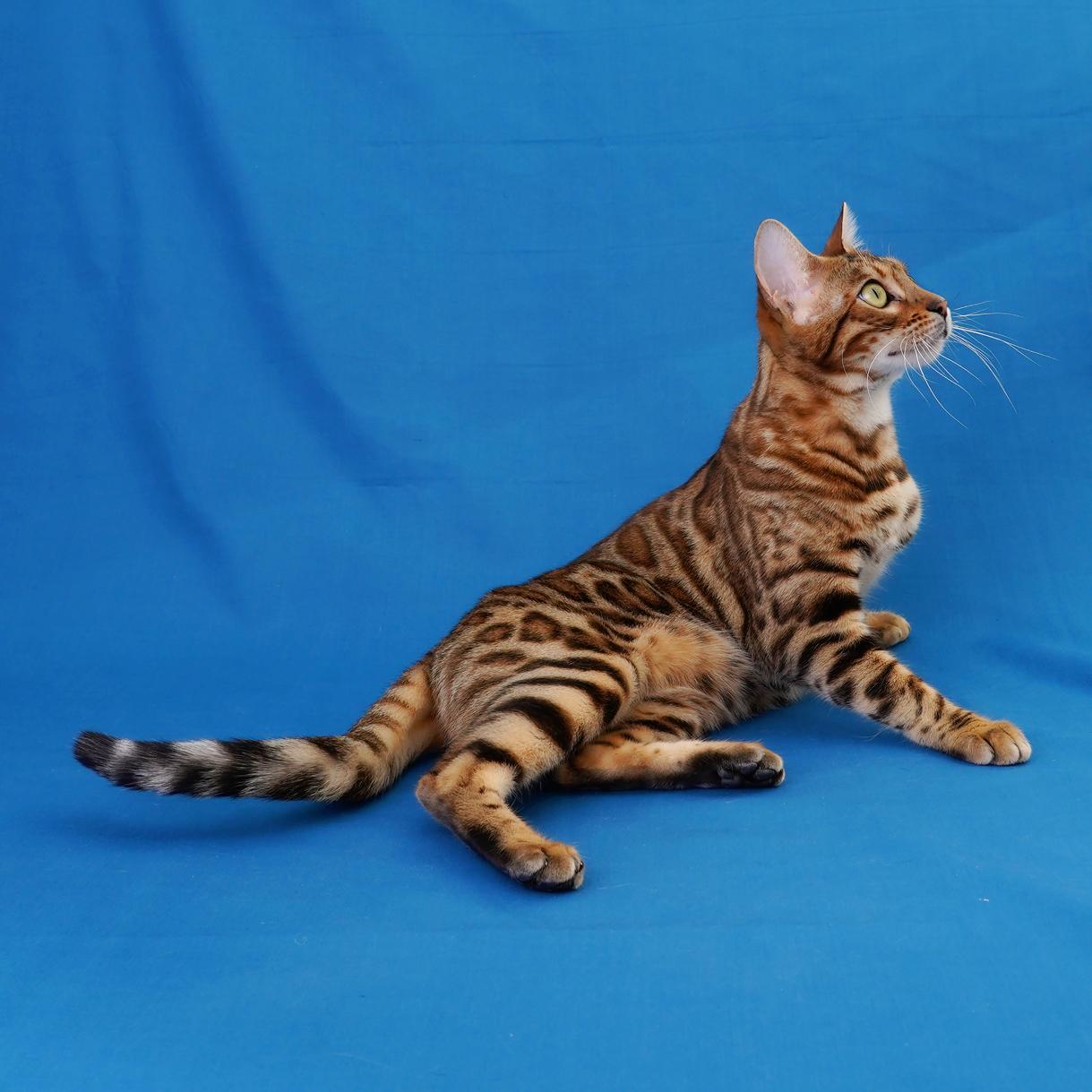 Bengal cat laying down