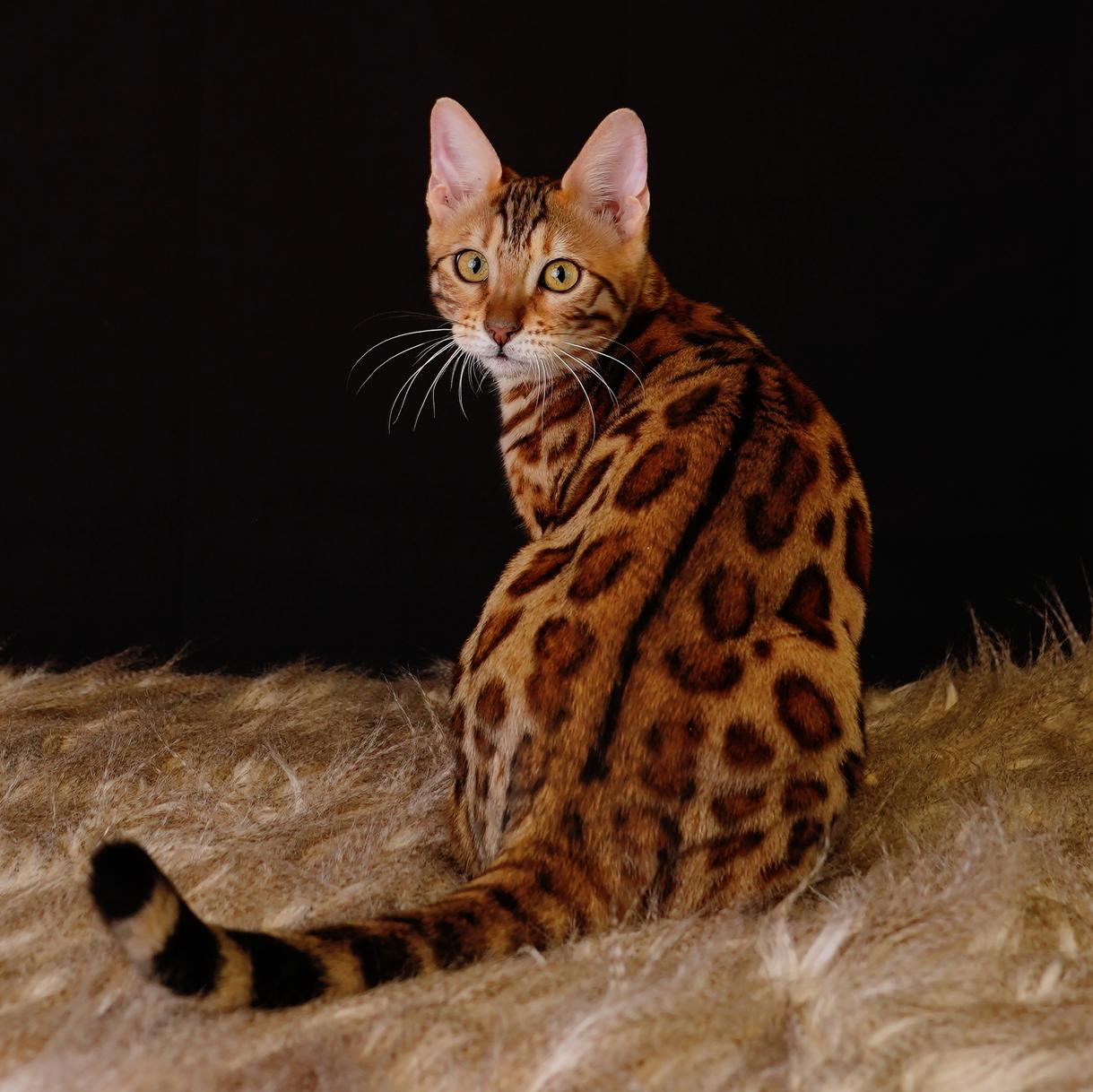 warm brown bengal cat