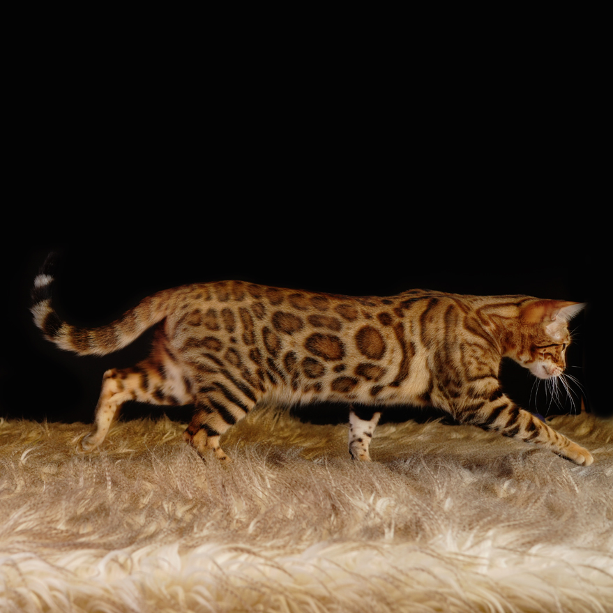 Brown Bengal Cat with Rosettes
