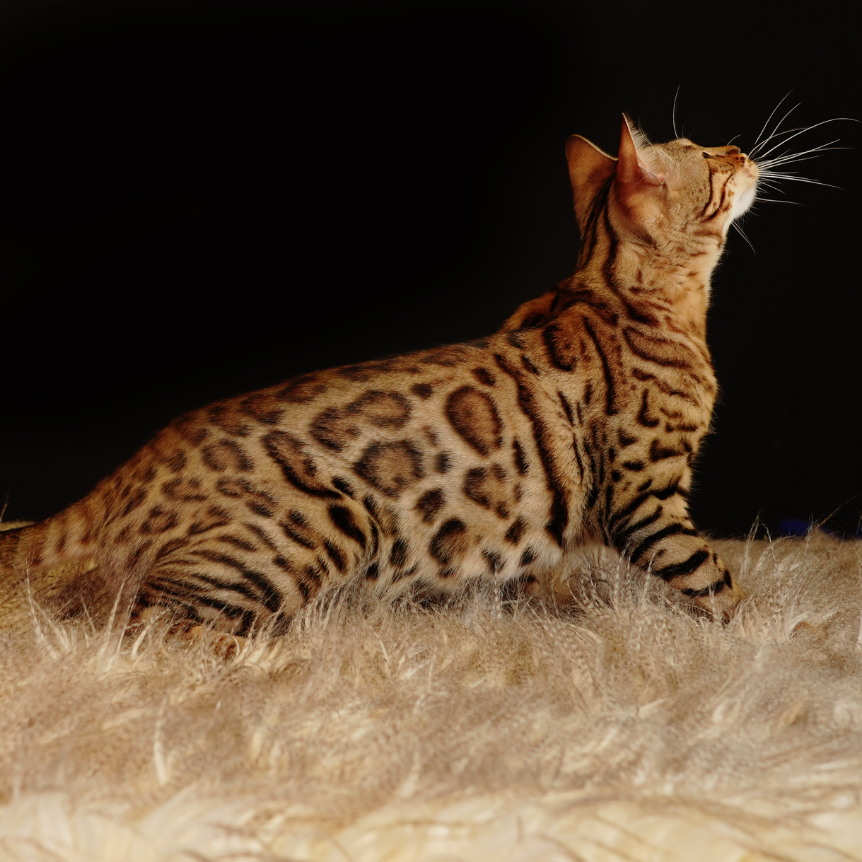 Bengal cat with pattern coat