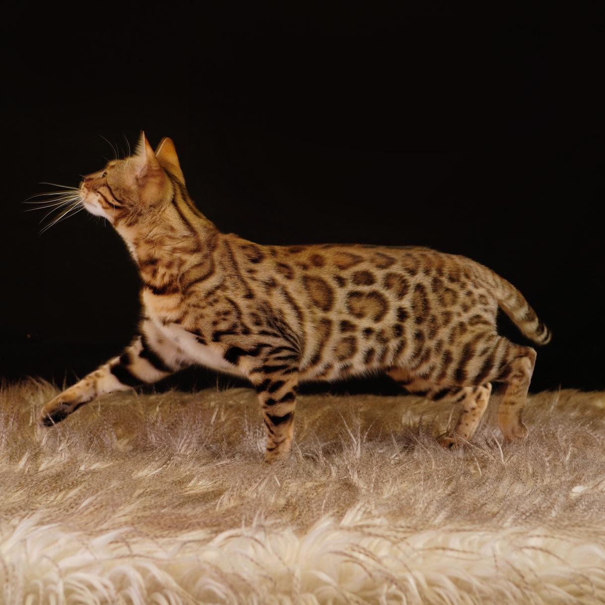 Bengal cat pattern