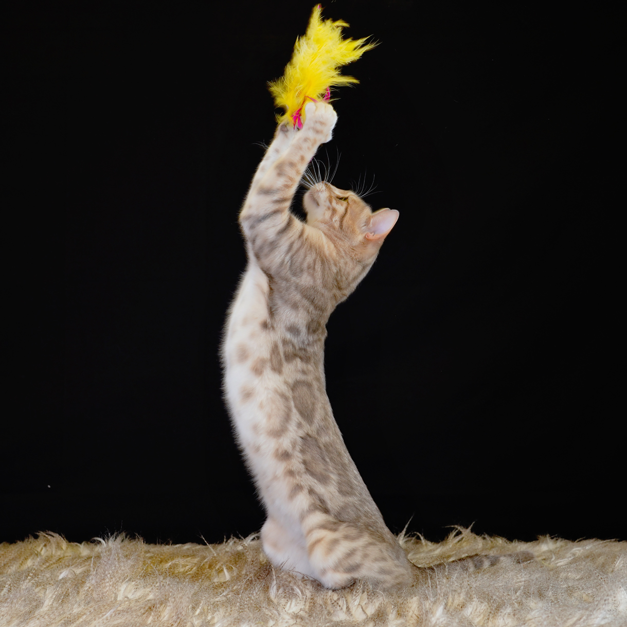 Blue Bengal Cat and feather toy