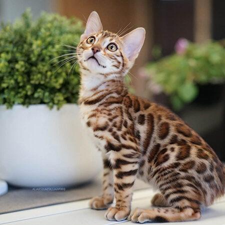 Brown rosetted Bengal kitten