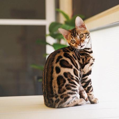 Cool Brown Bengal kitten