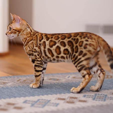 Sorrel Bengal kitten pattern