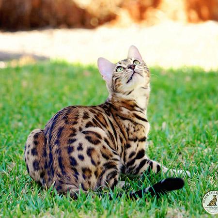 warm golden Bengal cat