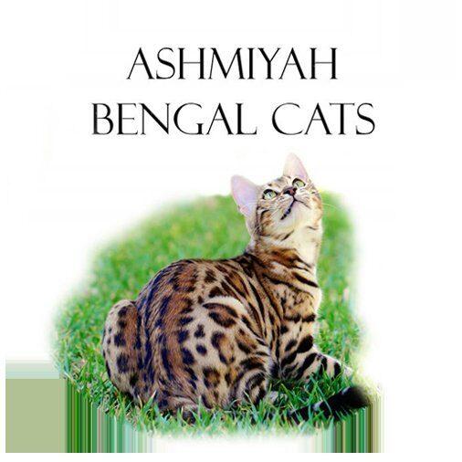 Ashmiyah Bengal Cats